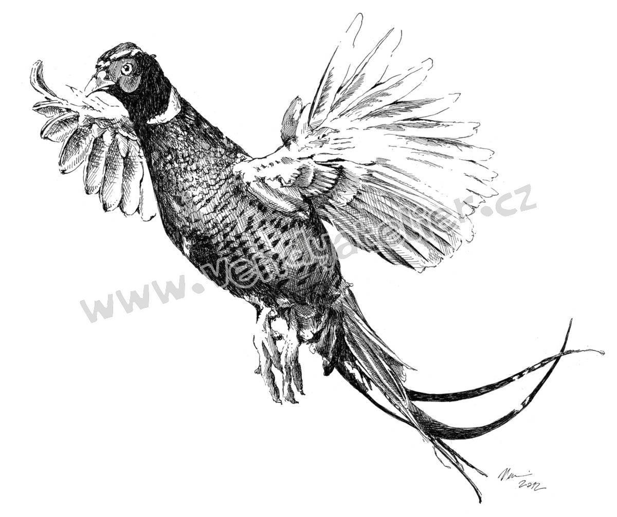 Srnec Kresba Hledat Googlem Pheasant Bazant Pinterest