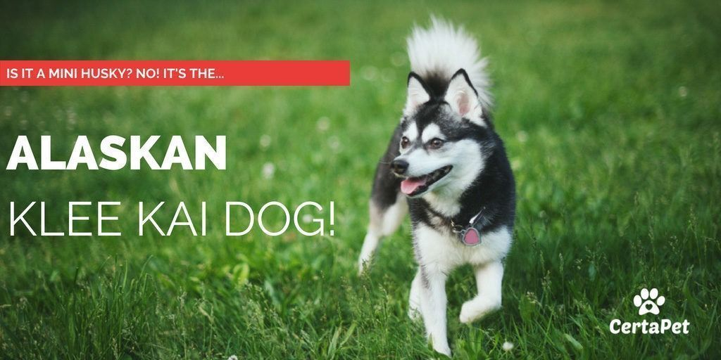 Is It a Mini Husky? No! It's an Alaskan Klee Kai Dog! #miniaturehusky miniature husky aka akk dog prancing in grass #miniaturehusky Is It a Mini Husky? No! It's an Alaskan Klee Kai Dog! #miniaturehusky miniature husky aka akk dog prancing in grass #miniaturehusky Is It a Mini Husky? No! It's an Alaskan Klee Kai Dog! #miniaturehusky miniature husky aka akk dog prancing in grass #miniaturehusky Is It a Mini Husky? No! It's an Alaskan Klee Kai Dog! #miniaturehusky miniature husky aka akk do #miniaturehusky