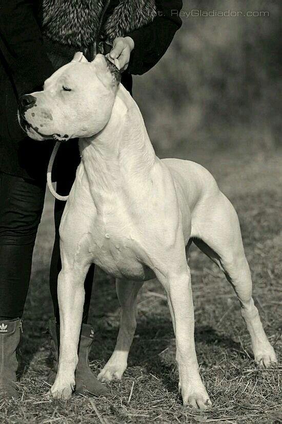 Dogo Argentino Mastiff Breeds Dog Argentino Beautiful Dogs