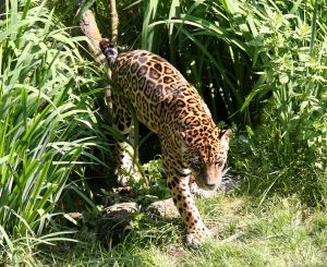 Picture of a Jaguar walking through tall grass.
