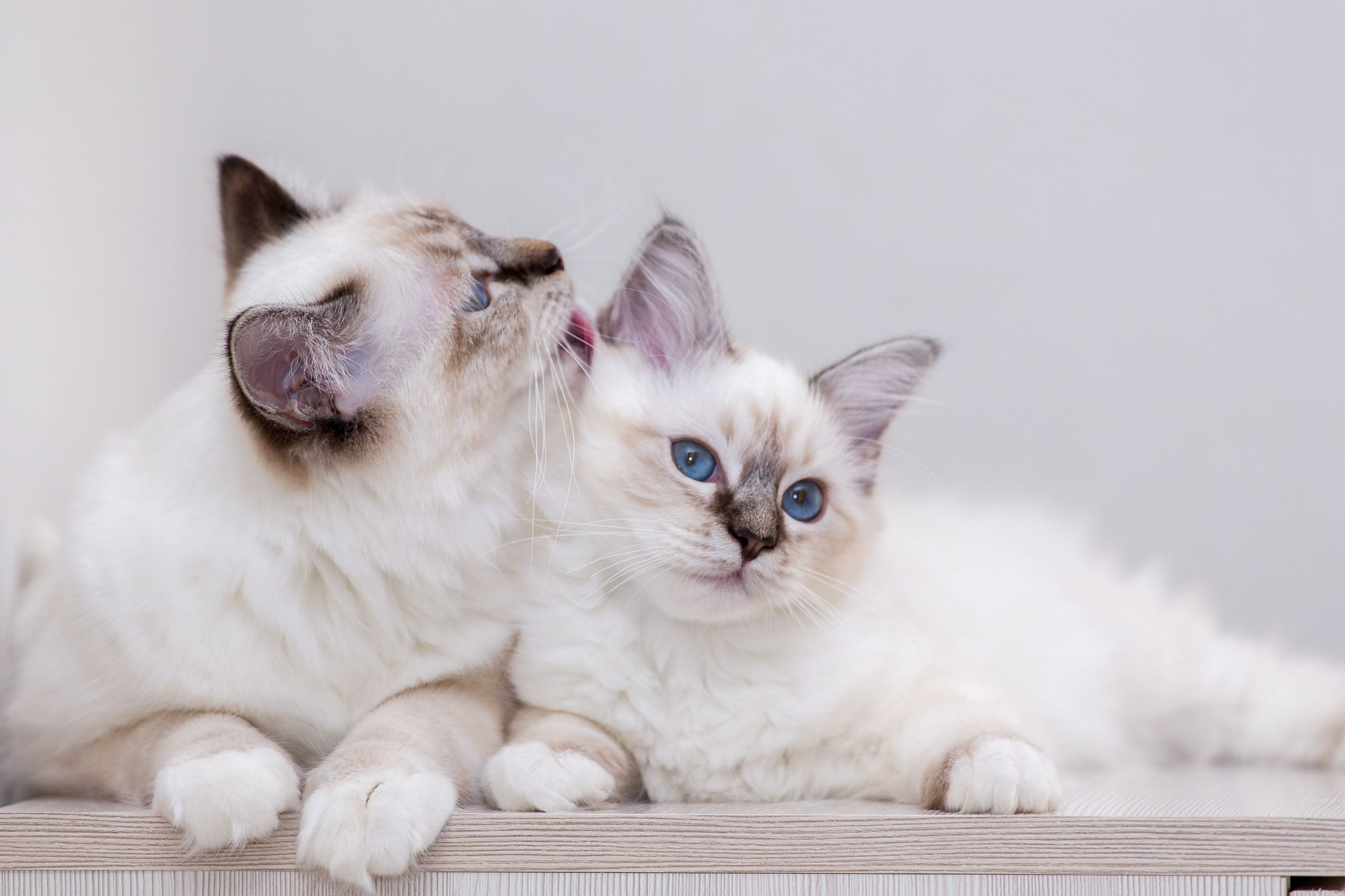 Affectionate Sacred Birman Cats Birmans Are Gentle And Playful Cats That Are Known For Their Striking Blue Eyes And Originated In Bur 可愛すぎる動物 ラグドール 猫 動物 かわいい