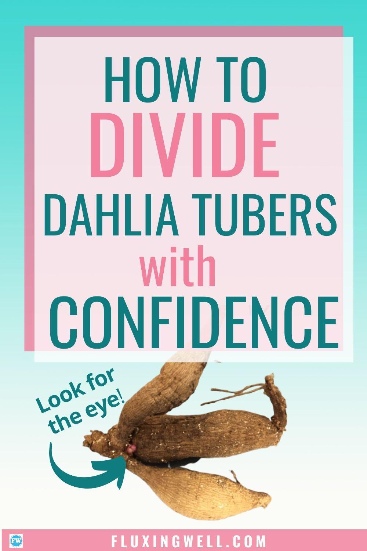 How To Divide Dahlia Tubers With Confidence Tubers Dahlia Growing Dahlias