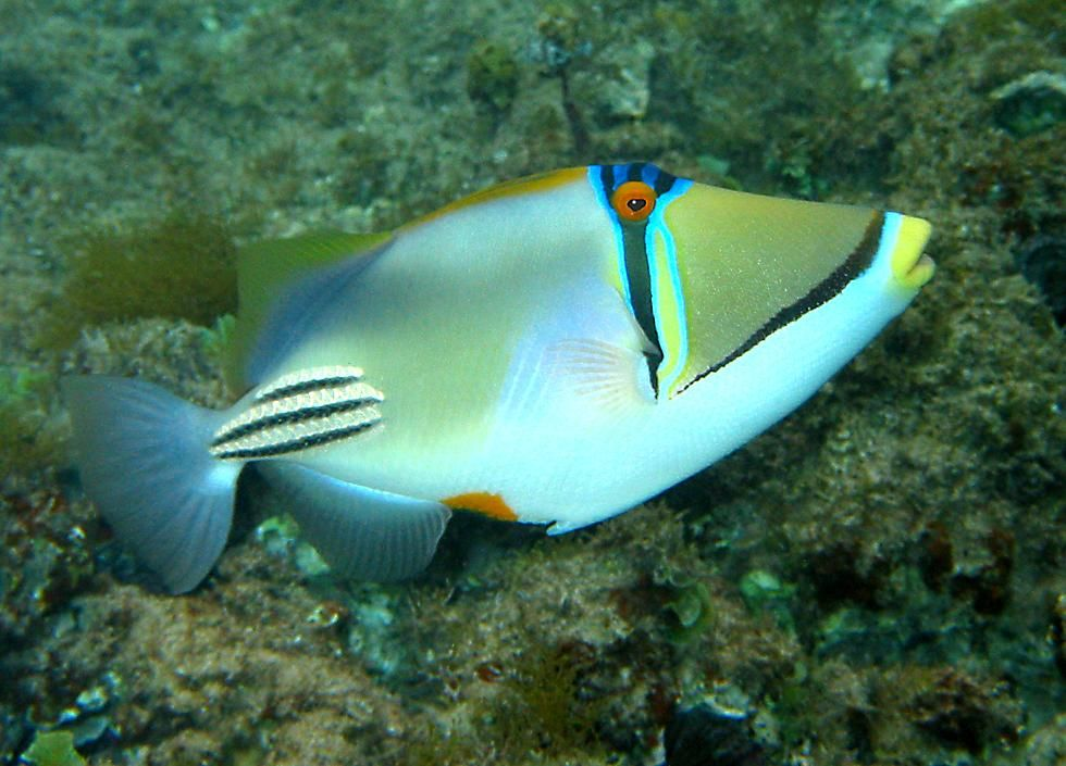 Blue And White Fish Tropical Fish Fish Aquarium Fish Tank