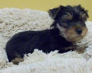 Korey Gorgeous Yorkshire Terrier Puppy For Sale In Jacksonville Fl Yorkshire Terrier Puppies Yorkie Puppy For Sale Terrier Puppy