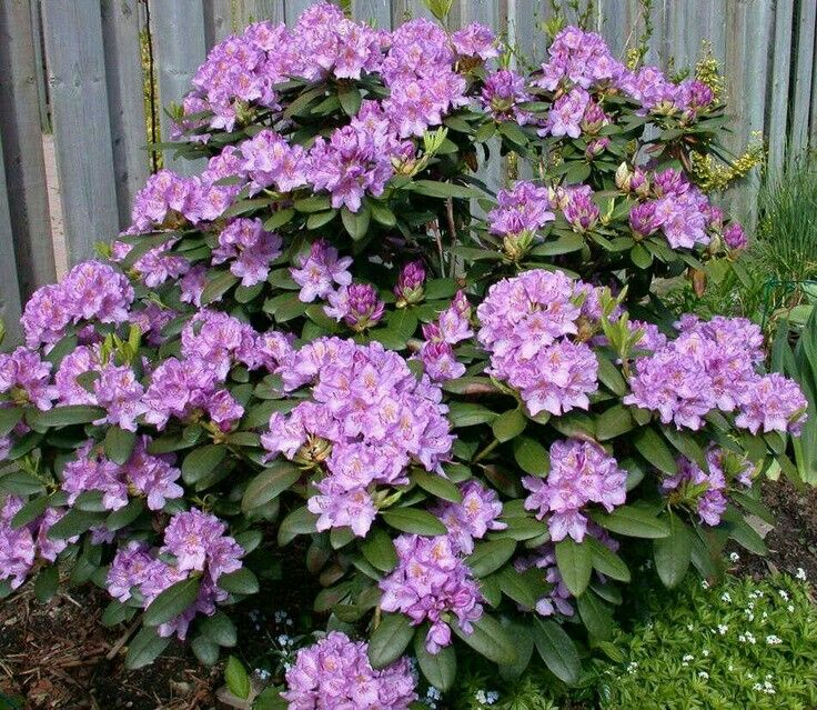 Catawba Rhododendron 6 10 Tall 5 8 Wide Evergreen Blooms In