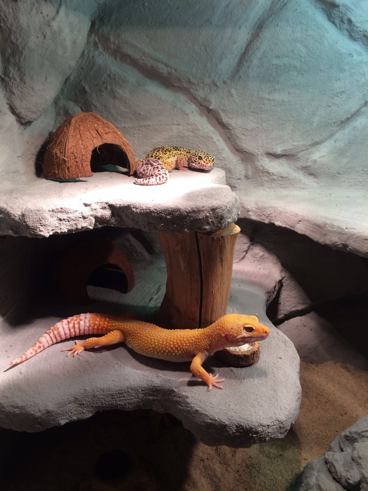 Leopard gecko\'s More | Gecko | Pinterest | Geckos leopardo, Reptiles ...