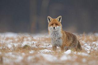 Lisior Fox Wild Dogs Animals Images