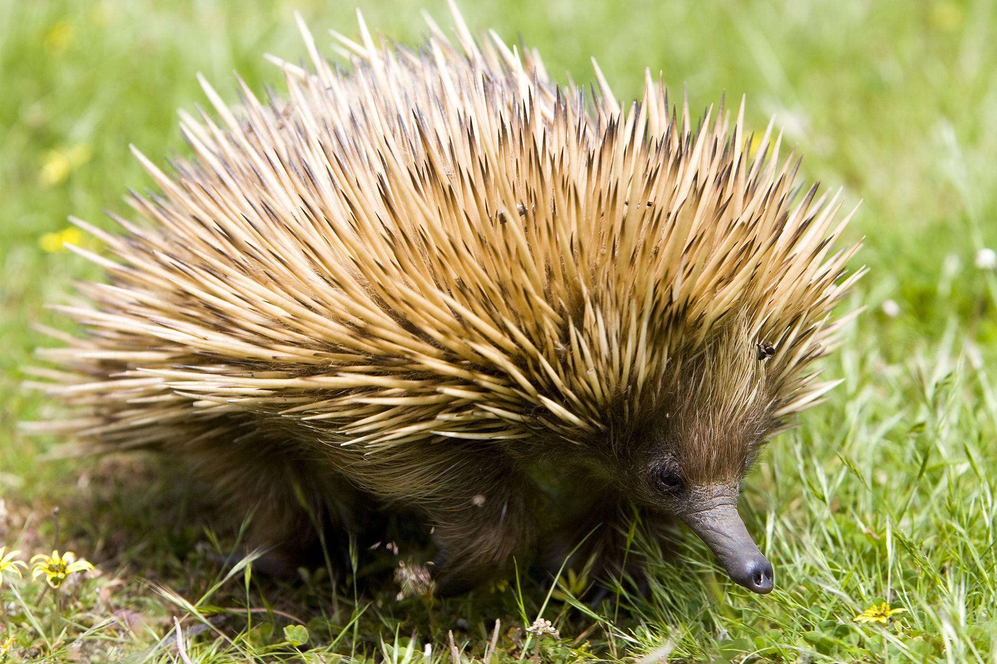 Spiky Baby Killers Echidna Secrets Revealed Echidna Animal