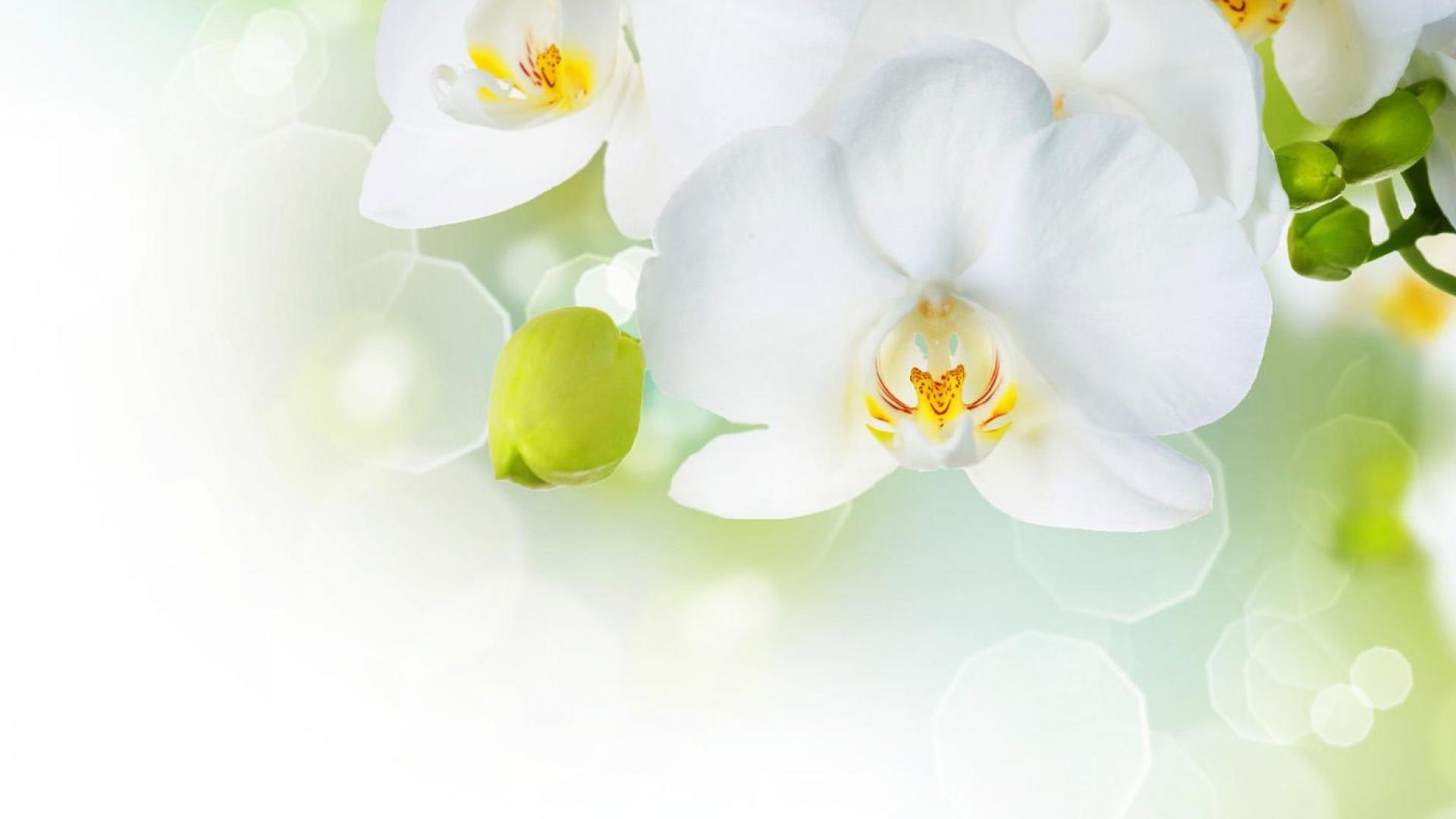 Beautiful White Orchid Flower Wallpaper Aa Flowers Pinterest