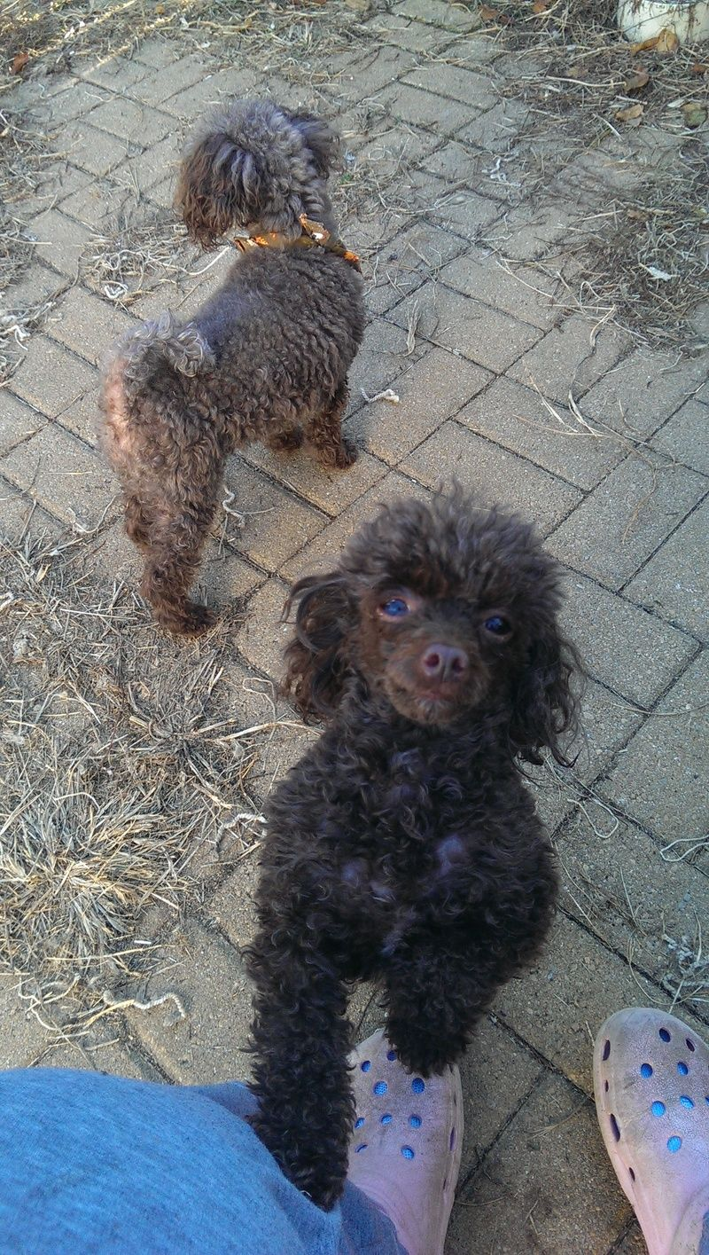 Adopt Chanel And Coco On Poodle Animals Chocolate Poodle