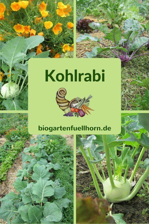 Der Anbau von Kohlrabi   Biogarten Füllhorn