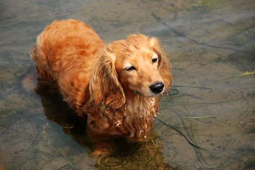Golden Retriever Long Haired Dachshund X Long Haired Dachshund