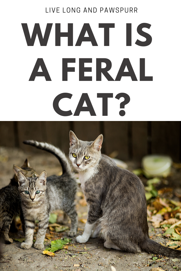 How To Identify Feral Cats In 2020 Feral Cats Pregnant Cat Kittens