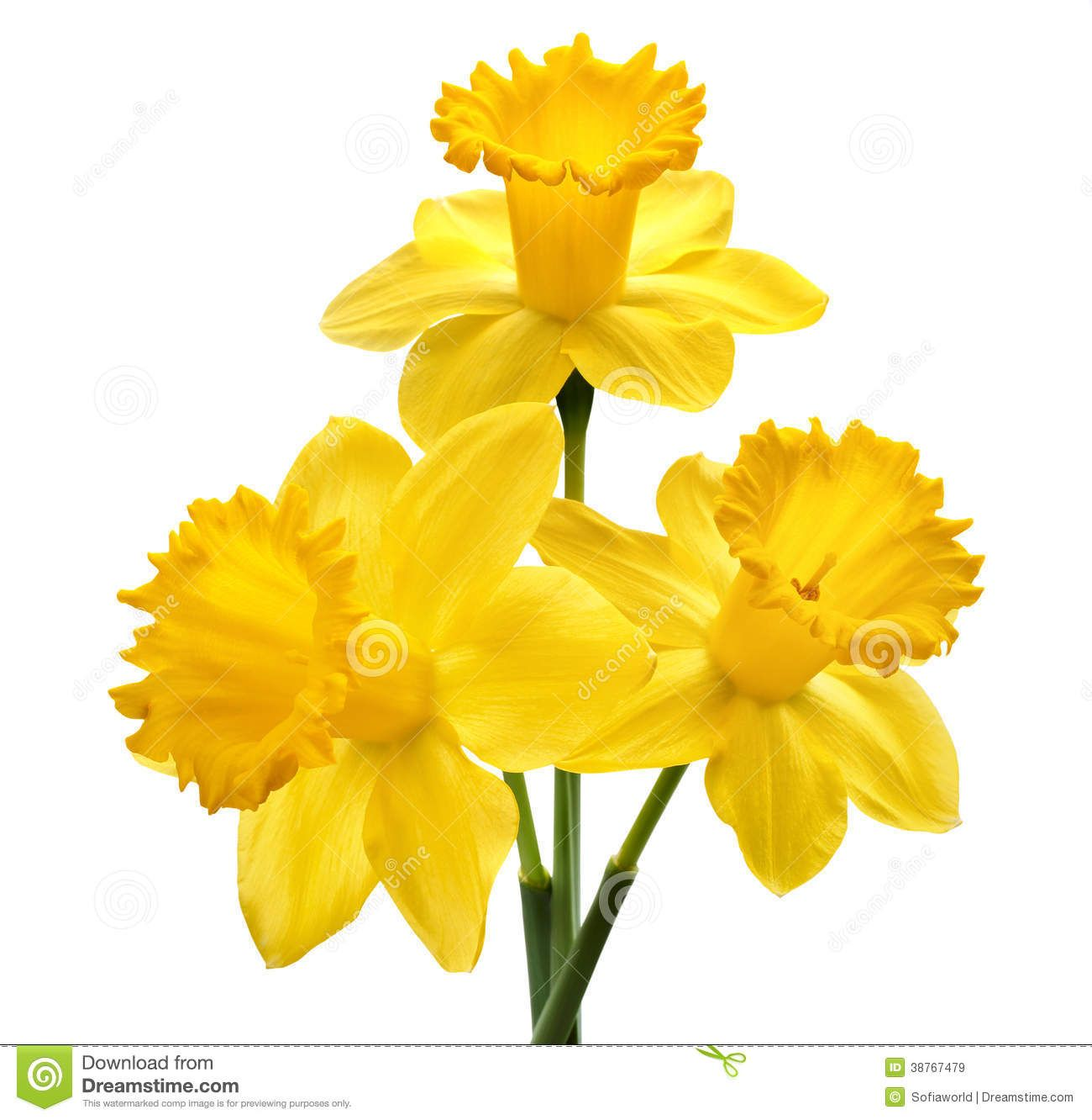 Image Result For Daffodils Images Free Download Daffodil Images Daffodils Flowers