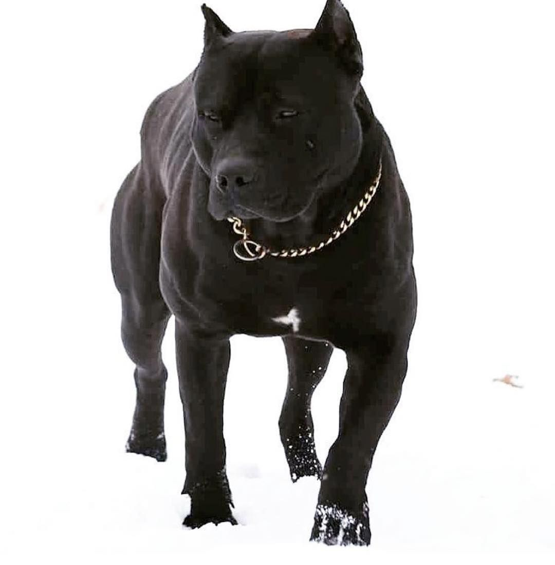 Pitbull Pitbulls Pitbull Terrier American Pitbull Terrier