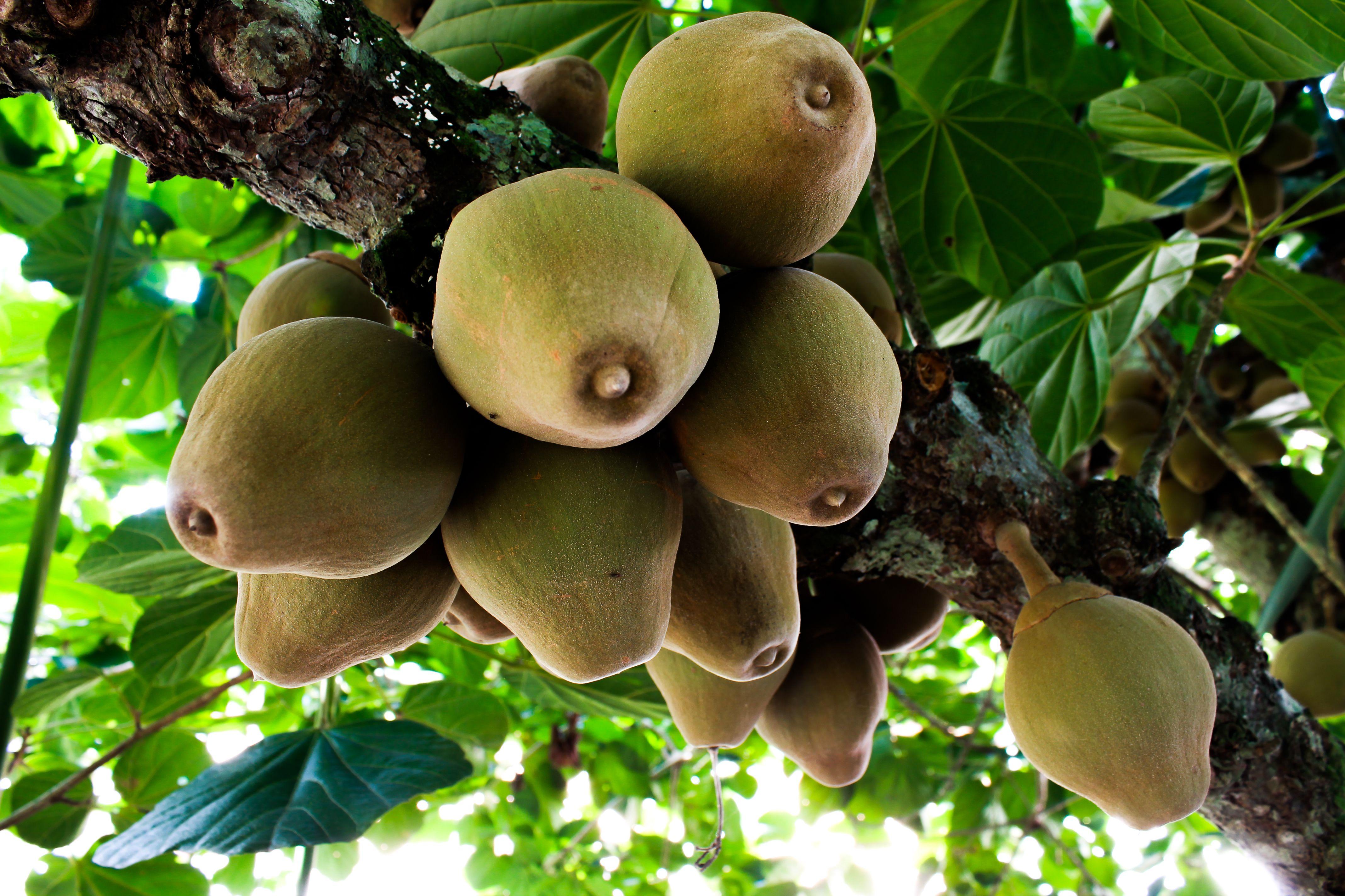 El Zapote es una fruta exótica amazonia | Selvamix ...