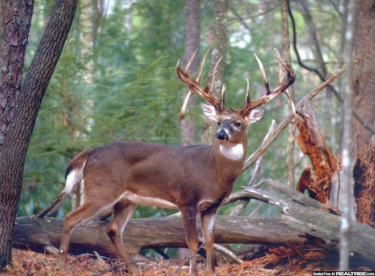 Whitetail Buck Photography - Google Search