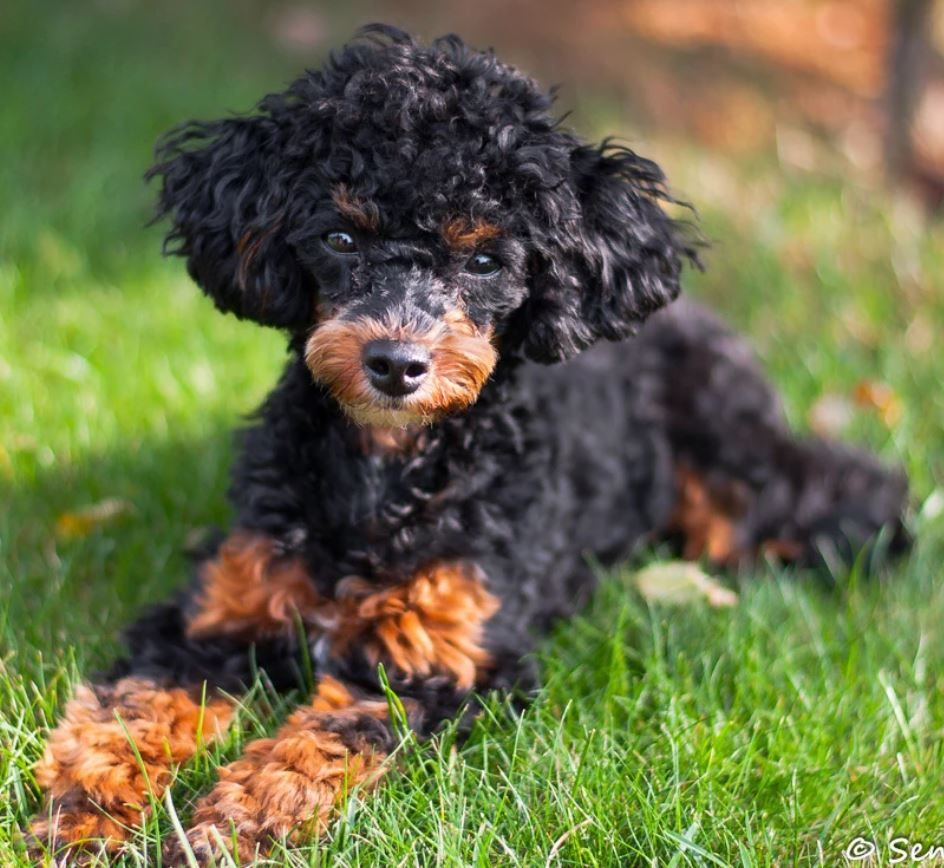 Senta Schukert Miniature Poodle Black And Tan Miniature Poodle
