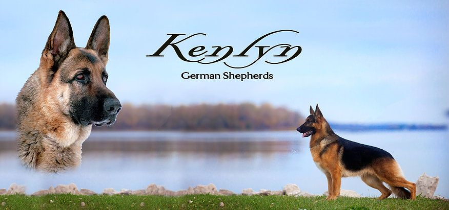 Kenlyn German Shepherds German Shepherd Breeders German