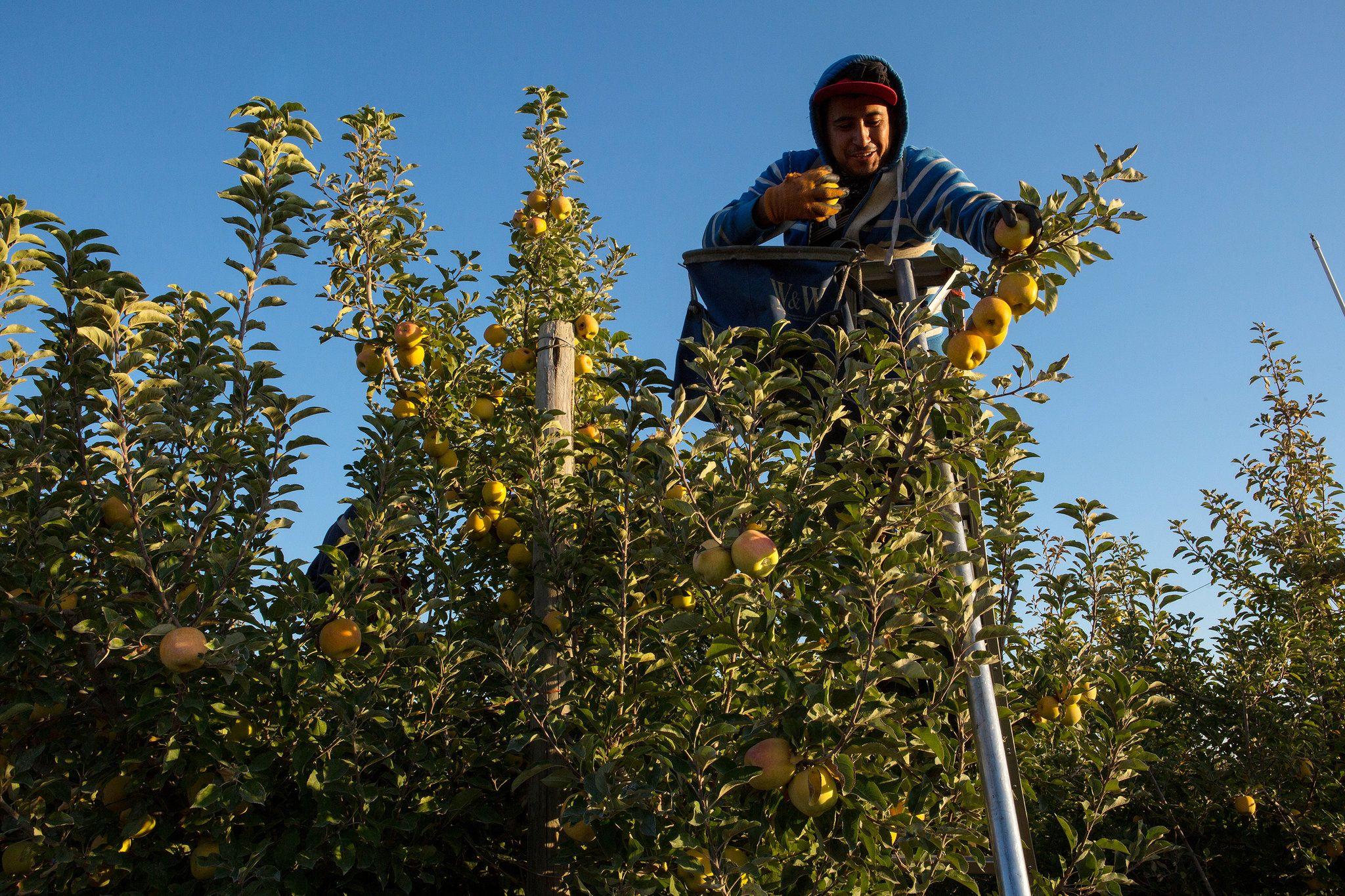 Beyond the Honeycrisp Apple Honeycrisp apples