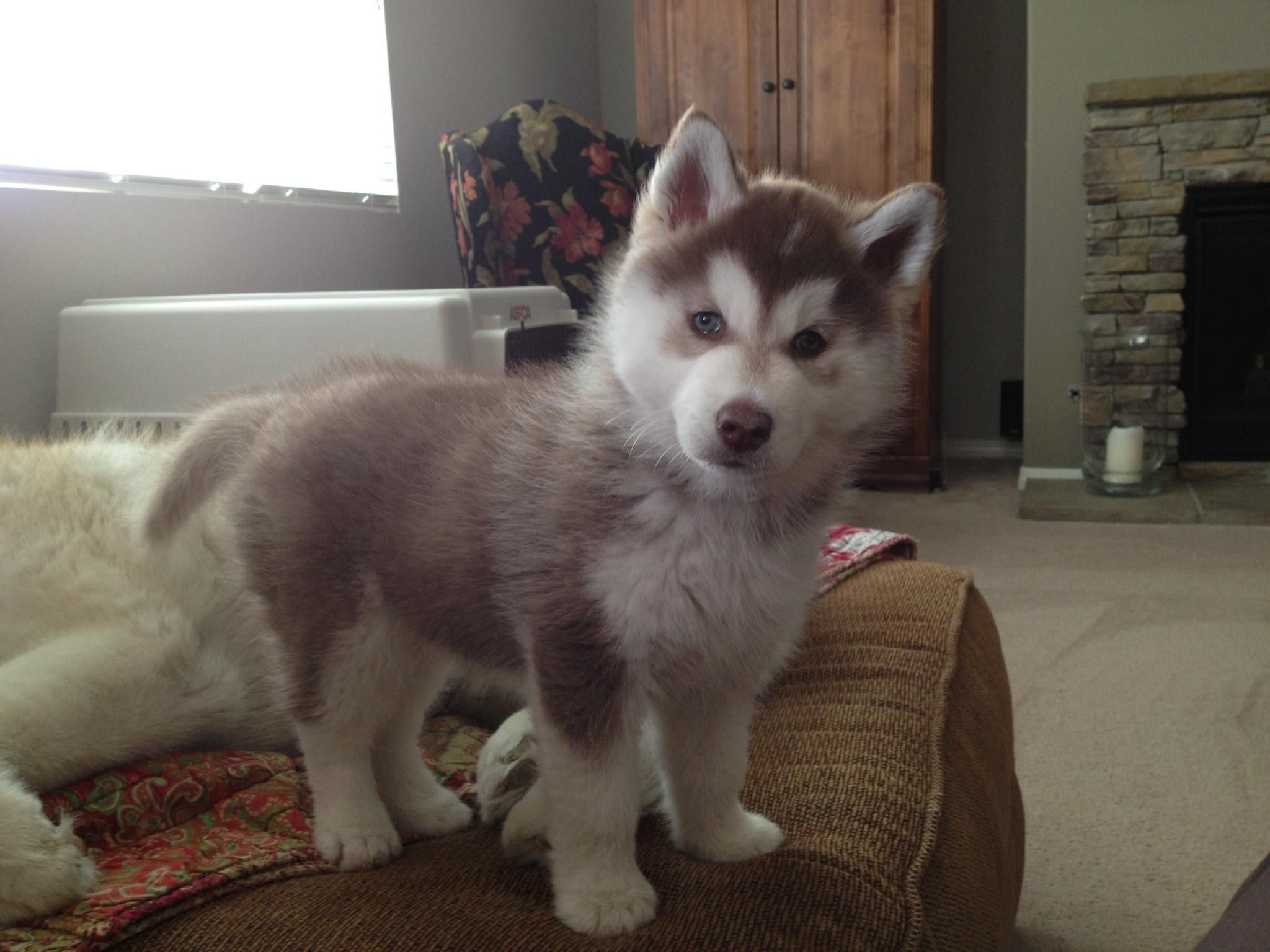 Baby Red And White Husky Siri Siberian Husky Husky Siberian