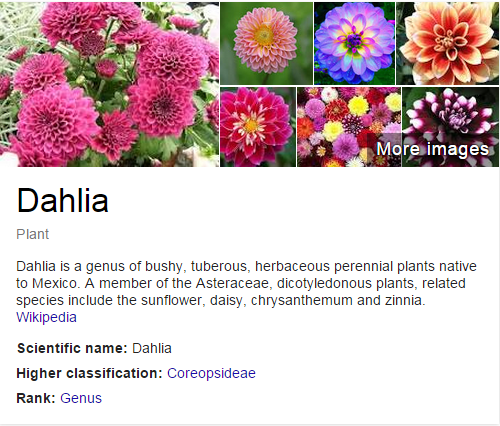 Dahlia Plant Dahlia Is A Genus Of Bushy Tuberous Herbaceous