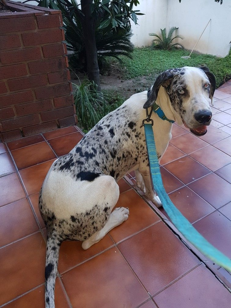 Mi Apolo 6 Meses Great Dane Dane Dogs