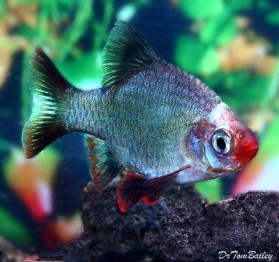 Platinum Green Tiger Barb Aquarium Fish Tropical Fish Betta Aquarium