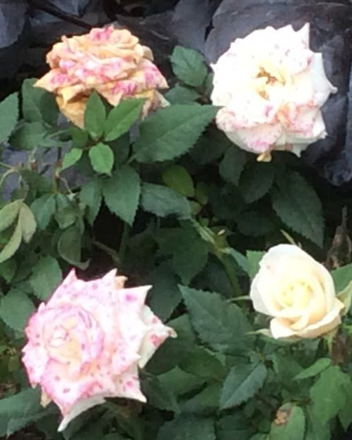 Miniature roses from the grocery store face off against Botrytis