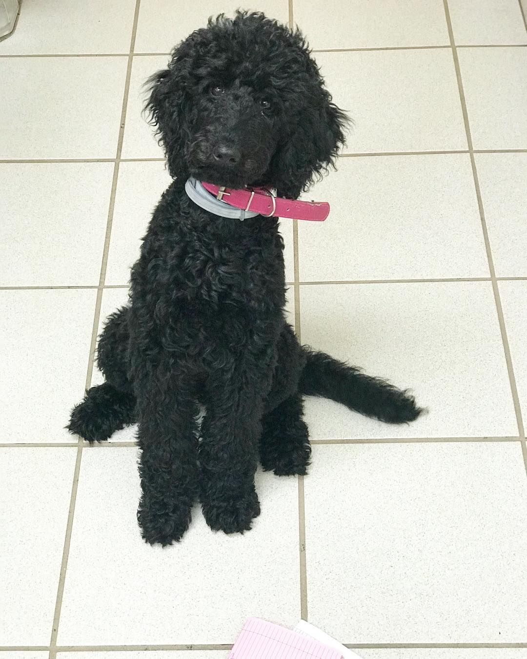 All About The Very Smart Poodle Dogs Temperament Poodlemaltese