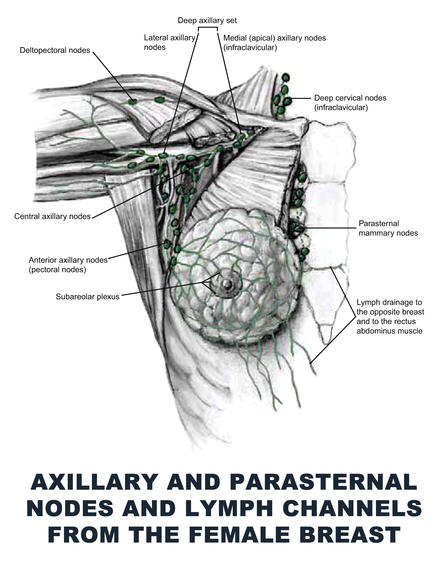 Axillary And Parasternal Nodes And Lymph Channels From The Female