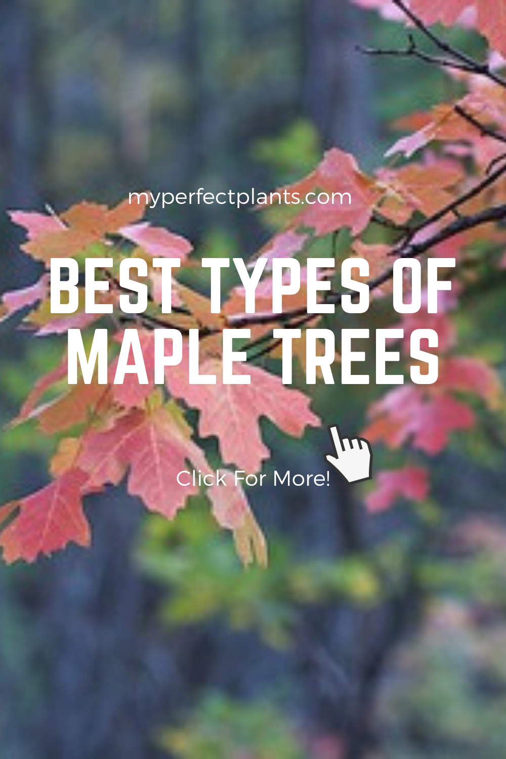 Buy Large Maple Trees For Sale Buy Maple Trees Online Perfect Plants Maple Tree Japanese Maple Tree Tapping Maple Trees