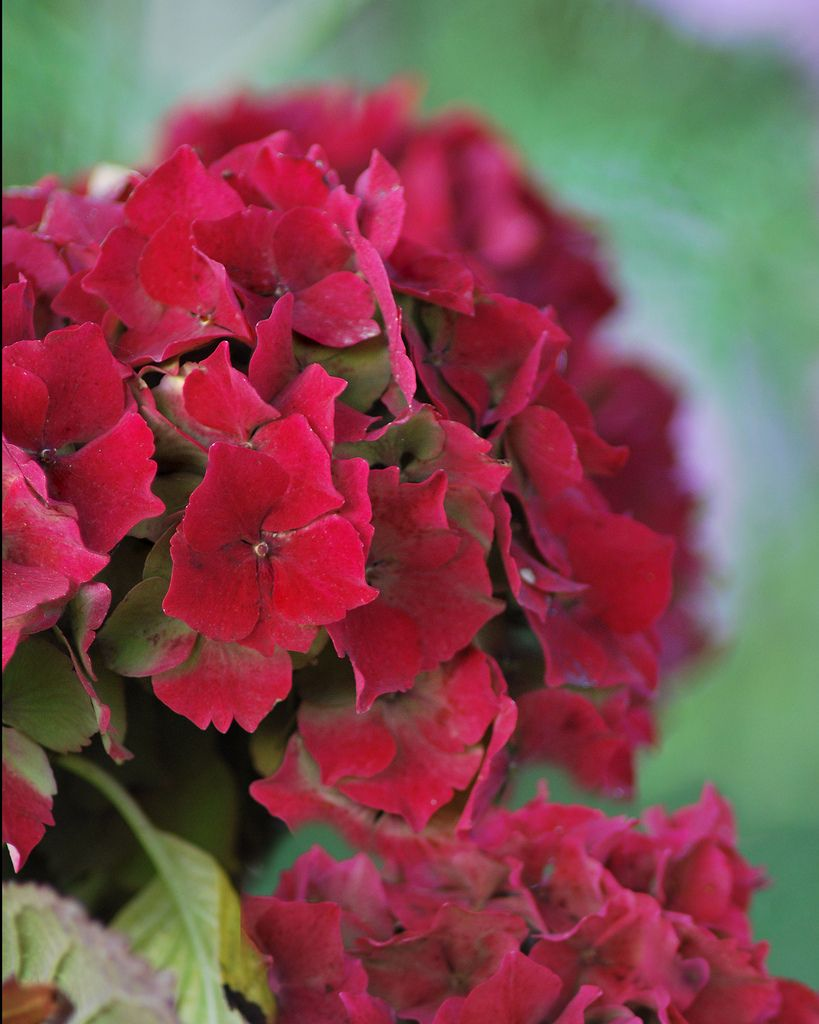 We really have had a mild autumn there are still beautiful hydrangea blooms in our garden