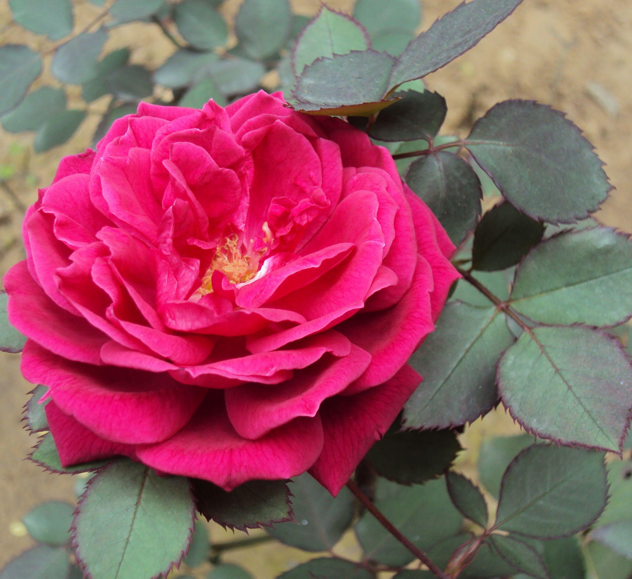 desi gulab Rose plant care, Planting roses, Gulab flower