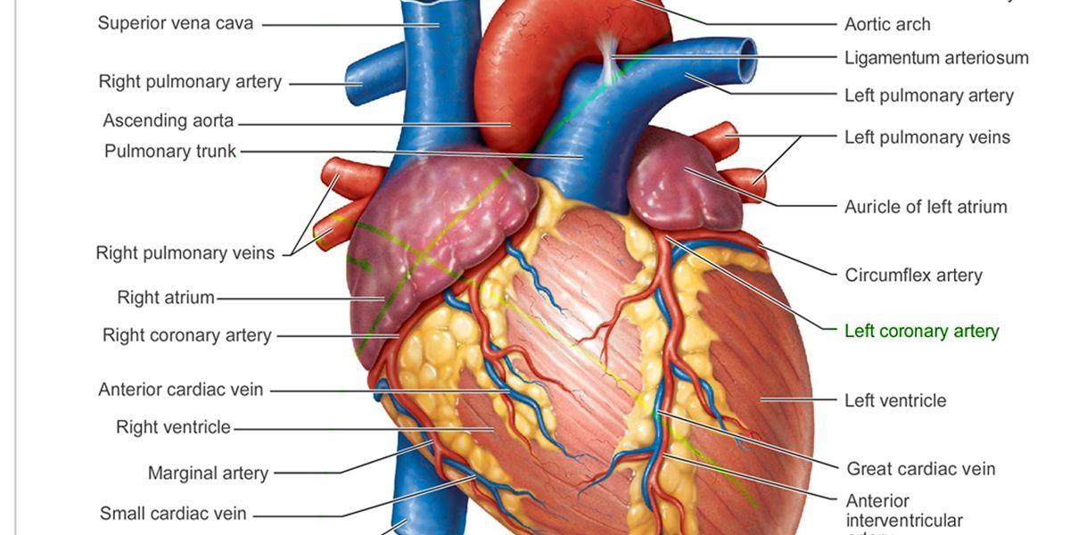 Anatomi Pembuluh Darah Koroner Jantung Dasar Memahami