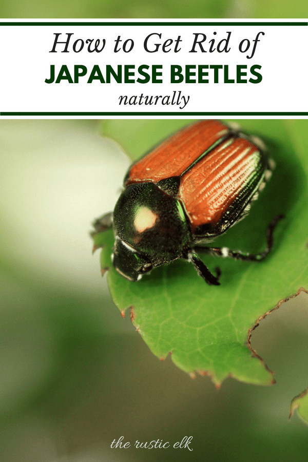 9 Tips To Naturally Get Rid Of Japanese Beetles Japanese Beetles Garden Pests Garden Pest Control