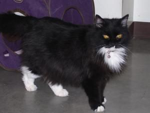 Boots Is An Adoptable Domestic Long Hair Black And White Cat In Powell Wy Boots Born 2004 Is A Spayed Declawed Long Ha Fluffy Kittens Cats And Kittens Cats