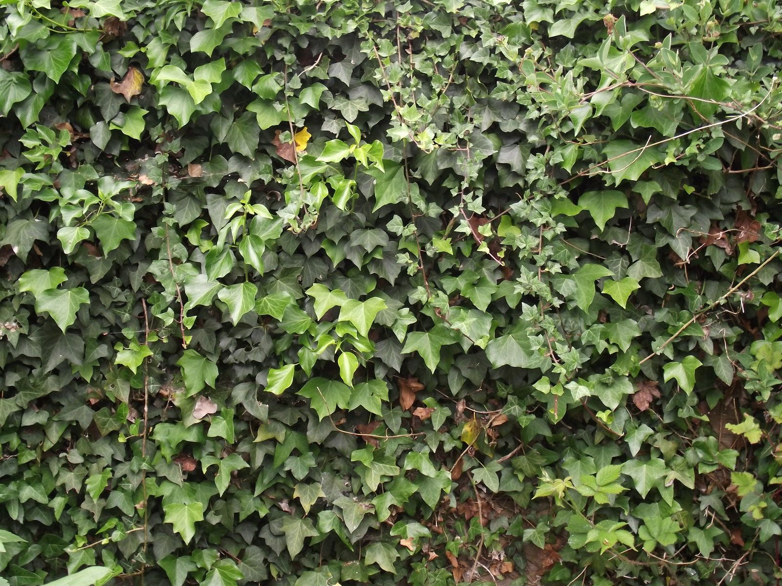 Hopefully Between The English Ivy And The Virginia Creeper