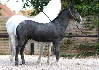 Grey Lippizaner foal