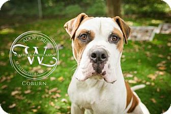 Kansas City Mo American Bulldog Meet Coburn A Dog For Adoption