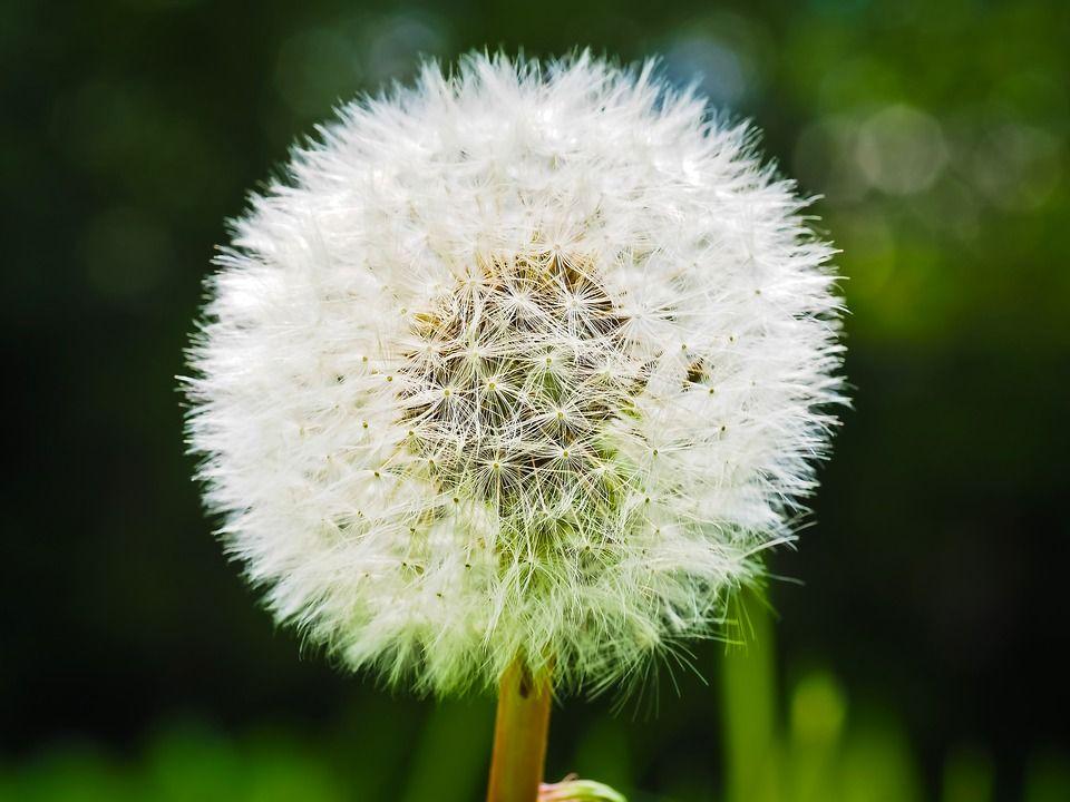 Free Image On Pixabay Dandelion Flower Pointed Flower Pointed Flower Dandelion Flowers