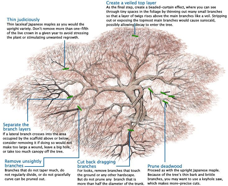 How to trim dwarf japanese maple trees types pruning maples fine gardening article also learn prune in the       rh pinterest