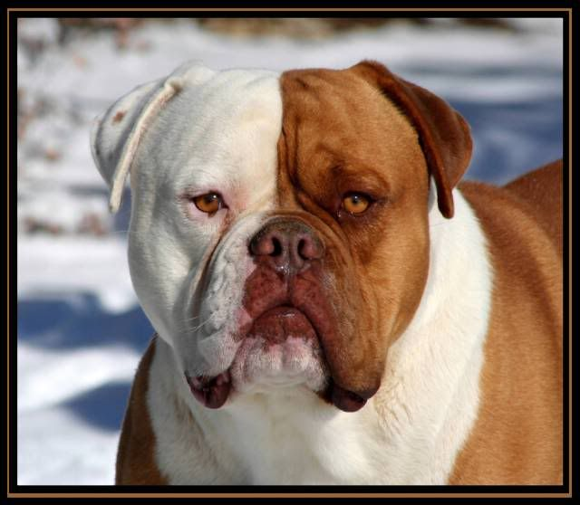 Red Canon S Stranglehold Bulldog Dog Bulldog Breeds Dogs And Kids
