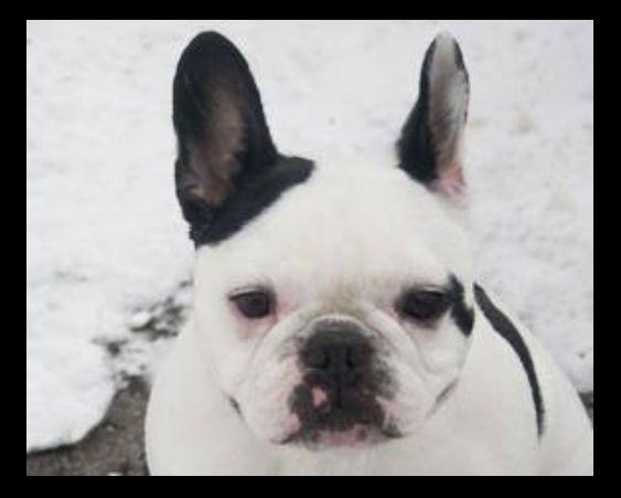 Available For Adoption Kansas City Www Waysidewaifs Org Bulldog