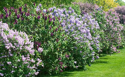 privacy fence of lilacs
