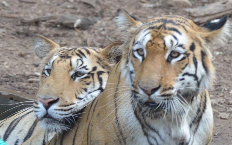 tigers of nagzira