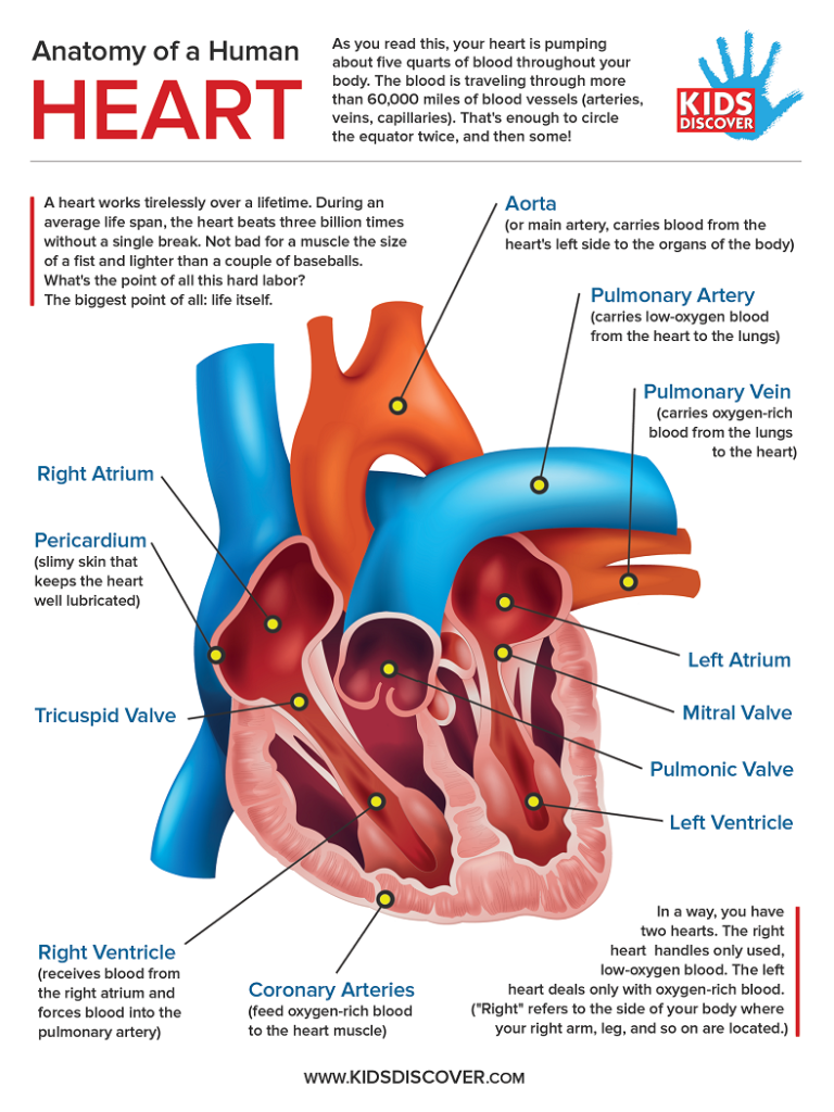 Infographic Anatomy Of The Human Heart Free Download This Informative One Page Lesson Sheet Detailing Human Body Lesson Heart Anatomy Human Heart Anatomy