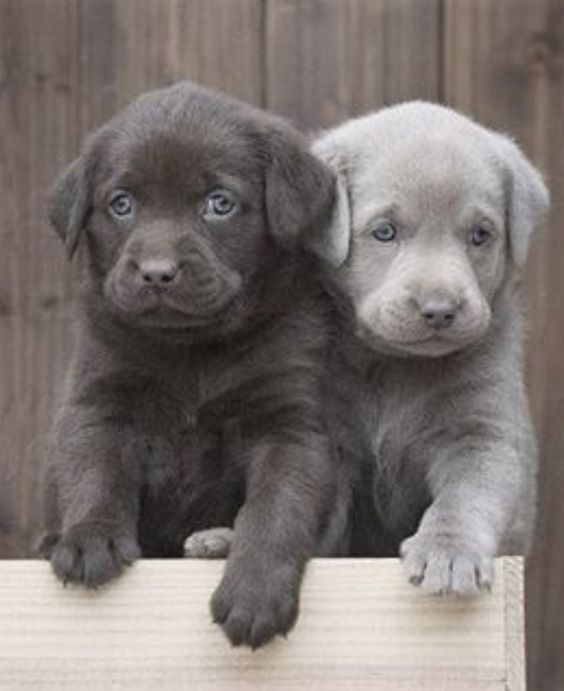 These Labrador Retriever Puppies Are Just The Cutest Those Blue Eyes Are Stunning Cute Baby Animals Lab Puppies Animals