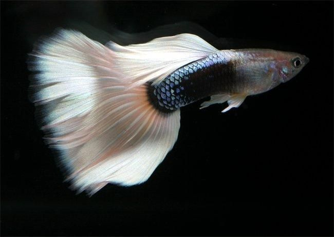 The Guppy Fish Guide On Breeding Diet Sexing Care And Forum Guppy Fish Guppy Fish