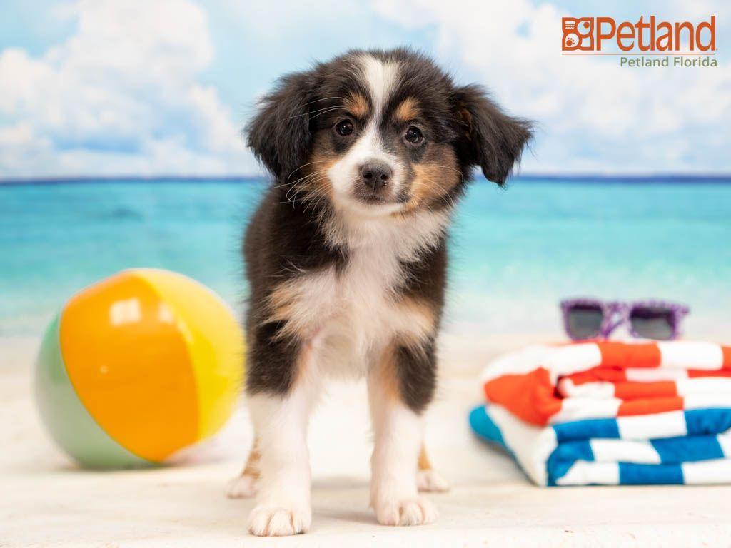 Mini Australian Shepherd Puppies For Sale Florida References